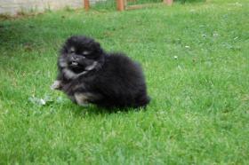 Foto 3 Zwergspitz /  Pomeranian