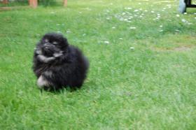 Foto 4 Zwergspitz /  Pomeranian