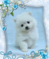 Zwergspitz / Pomeranian Welpen in der seltenen Farbe Weiß mit Papieren