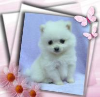 Foto 2 Zwergspitz / Pomeranian Welpen in der seltenen Farbe Weiß mit Papieren