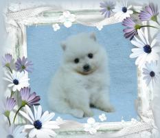 Foto 3 Zwergspitz / Pomeranian Welpen in der seltenen Farbe Weiß mit Papieren
