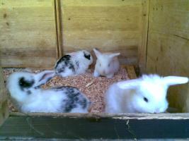 Zwergwidder, Hasen, Kaninchen DD schwarz weiß 7 Wochen Rammler Häsin 15 Euro Widder