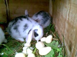 Foto 2 Zwergwidder, Hasen, Kaninchen DD schwarz weiß 7 Wochen Rammler Häsin 15 Euro Widder