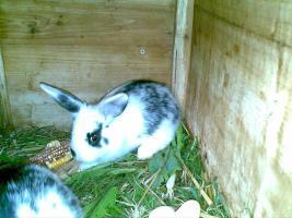 Foto 3 Zwergwidder, Hasen, Kaninchen DD schwarz weiß 7 Wochen Rammler Häsin 15 Euro Widder