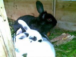 Foto 4 Zwergwidder, Hasen, Kaninchen DD schwarz weiß 7 Wochen Rammler Häsin 15 Euro Widder