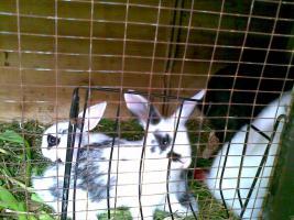 Foto 5 Zwergwidder, Hasen, Kaninchen DD schwarz weiß 7 Wochen Rammler Häsin 15 Euro Widder