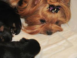 Foto 4 Zwinger vergibt luxus Yorkshire Terrier mit Papiere (FCI)