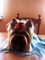 Foto 5 Zwinger vergibt luxus Yorkshire Terrier mit Papiere (FCI)