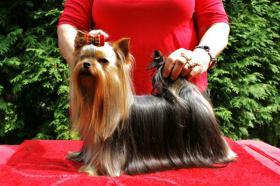 Foto 6 Zwinger vergibt luxus Yorkshire Terrier mit Papiere (FCI)