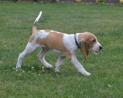 Foto 2 Zwinger z Cukrovaru vergibt wunderschöne Welpen Schweizer Laufhund