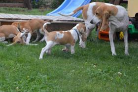 Foto 3 Zwinger z Cukrovaru vergibt wunderschöne Welpen Schweizer Laufhund