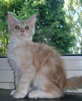 adorable chatons maine coon disponible