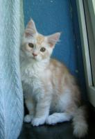Foto 2 adorable chatons maine coon disponible