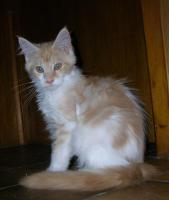 Foto 4 adorable chatons maine coon disponible