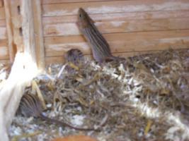 Foto 3 afr. Streifenm�use