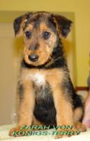 airedale terrier Hundin aus Rumanien