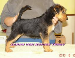 Foto 2 airedale terrier Hundin aus Rumanien