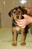 Foto 3 airedale terrier Hundin aus Rumanien