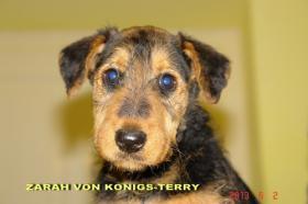 Foto 4 airedale terrier Hundin aus Rumanien