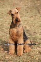 Foto 5 airedale terrier Hundin aus Rumanien