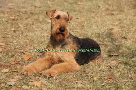 Foto 6 airedale terrier Hundin aus Rumanien