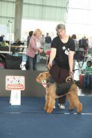 Foto 7 airedale terrier Hundin aus Rumanien
