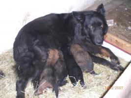 Foto 2 altdeutsche Schäferhundwelpen zu verkaufen