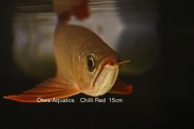 Foto 2 asiatische Drachenfische