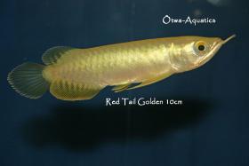 Foto 4 asiatische Drachenfische
