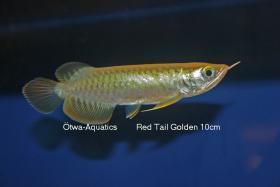 Foto 5 asiatische Drachenfische