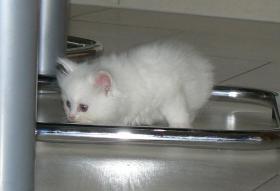 au�ergew�hnliche seltene wei�e BLH/ BKH Kitten abzugeben