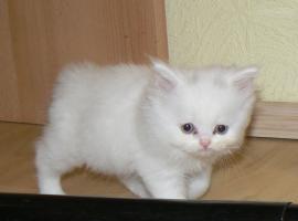 Foto 2 au�ergew�hnliche seltene wei�e BLH/ BKH Kitten abzugeben