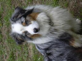 australian shepherd welpen peaches children