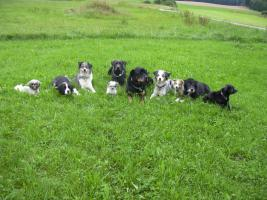 Foto 2 australian shepherd welpen peaches children