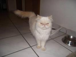 Foto 3 baby persa mix