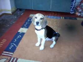 beagle 036