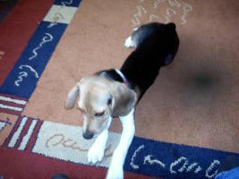 Foto 2 beagle