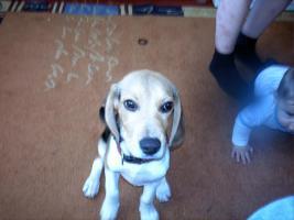 Foto 4 beagle