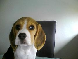 Foto 3 beaglewelpe