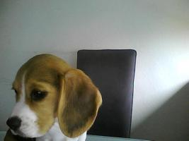 Foto 4 beaglewelpe
