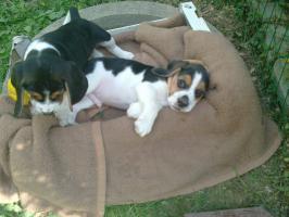Foto 2 beaglewelpen in liebevolle hände abzugeben