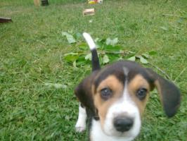 Foto 5 beaglewelpen in liebevolle hände abzugeben