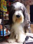 Foto 2 bearded collie 2 jahre