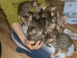 Foto 5 bengal Kitten der Extraklasse - gigantische Kontraste
