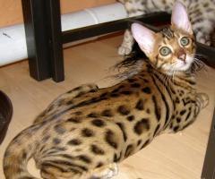 Foto 3 bengal kitten