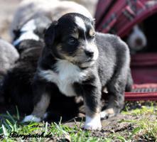 bezaubernde Mini Australian Shepherd Welpen