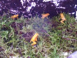 Foto 2 biete Phyllobates terribilis orange NZ