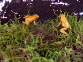 Foto 3 biete Phyllobates terribilis orange NZ