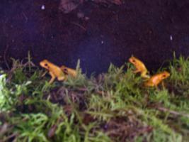 Foto 5 biete Phyllobates terribilis orange NZ