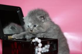 Foto 4 bkh kitten